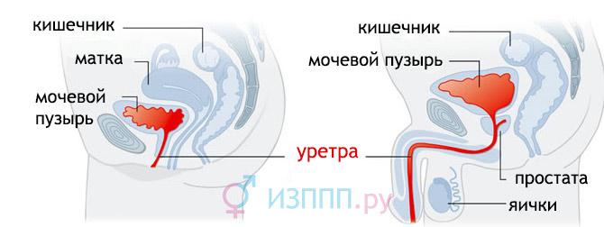 строение женской (слева) и мужчкой (справа) уретры