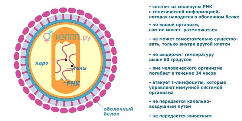 схема и характеристика вируса иммунодефицита человека