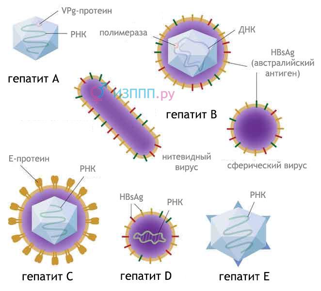 Гепатит C, B, А, D, Е: симптоми, лечение, анализи, как передается